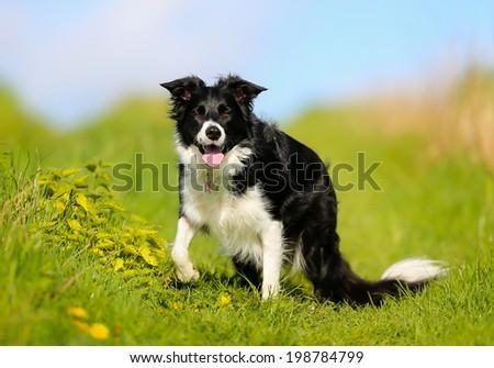 Shot of purebred dog. Taken outside on a sunny summer day. #198784799