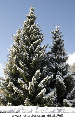 Shot of snow covered fir tree in austrian winter.
