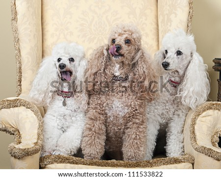 Shot of Three Miniature French Poodles on Chair