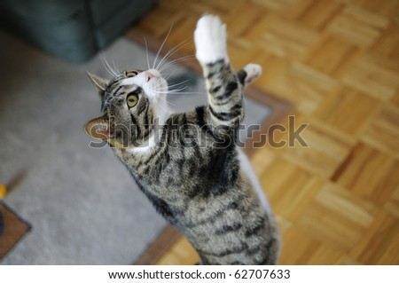 Shot of young, cute domestic cat playing