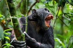 Shouting a Angry Chimpanzee. The chimpanzee (Pan troglodytes)  shouts in rain forest, giving signs to the relatives.