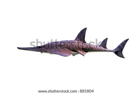 Shovelnose shark on white background - stock photo