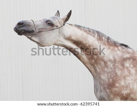 show arab horse