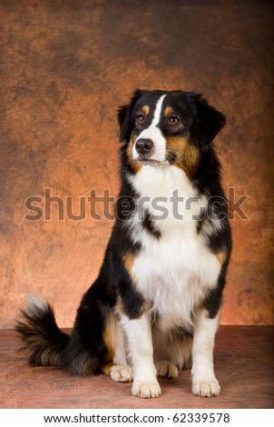 Show champion Australian Shepherd on brown mottled background