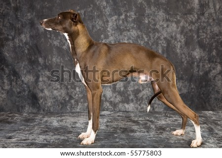 Show champion Italian Greyhound in show stack pose