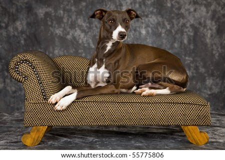Italian+greyhound+puppies+florida