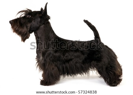 Show Champion Scottish Terrier in show stack stand on white background