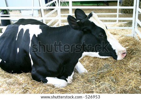 show cow