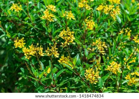 Shower of gold a.k.a. thryallis (galphimia gracilis) yellow flowers - Topeekeegee Yugnee (TY) Park, Hollywood, Florida, USA Stock fotó ©