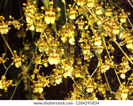 Shower of Gold Orchid
