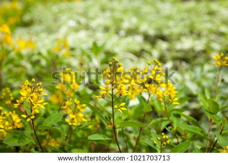 Shower Of Gold Yellow Flowergalphimia Glauca This Evergreen