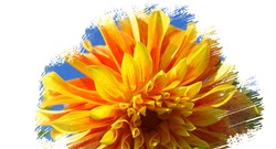 Showy and bright isolated colorful dahlia flower on white background. Painting effect.