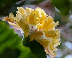 Showy bright lemon yellow double Hawaiian Hibiscus rosa-sinensis evergreen  hibiscus blooming in summer  with large petals contrasted against green foliage adds decorative charm to any garden.