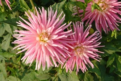 Showy, bright pink dahlia flowers of the 'Park Princess' variety in dew in the garden, close-up, top view