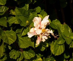 Showy cream orange and pink double  evergreen hibiscus blooming in early winter with large petals contrasted against green foliage ads tropical charm to an urban garden.