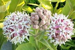 Showy Milkweed Flower Blooming Milky Weed Closeup