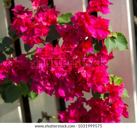 Showy ornamental bracted carmine pink  blooms of  magnificent weeping  colorful bouganvillea Magnifica Traillii  plant in summer glory adds a tropical splendour to the landscape.