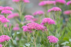 Showy stonecrop blooming in the garden. Ice plant,  butterfly stonecrop (Hylotelephium spectabile (syn. Sedum spectabile).
