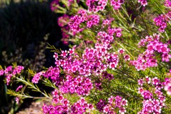 Showy West Australian native wild flower pink Geraldton Wax chameleucium  uncinatum with  sweet nectar attracting bees and native birds with long lasting decorative blooms in  spring and summer.