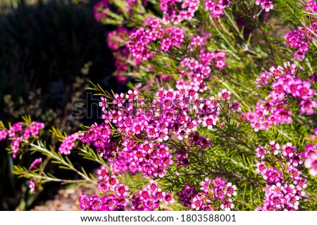 Photo of  Showy West Australian native wild flower pink Geraldton Wax chameleucium  uncinatum with  sweet nectar attracting bees and native birds with long lasting decorative blooms in  spring and summer.