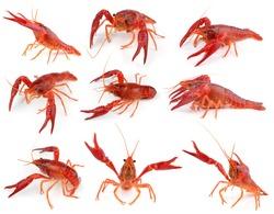 Shrimps Crayfish