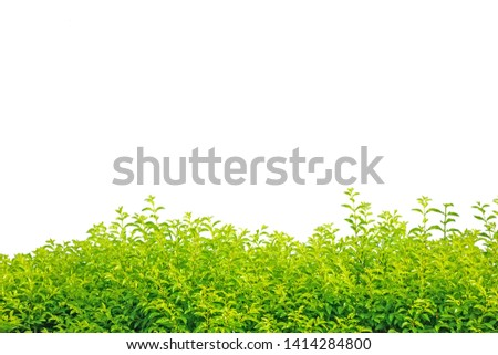 Shrub isolated on a white background, yellow-green shrub, background concept #1414284800