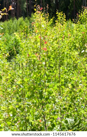 shrub of a young plant with beautiful green foliage and red foliage at the top of the trunk #1145617676