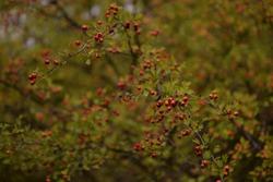 shrub of crataegus monogyna. hawthorn during ripening. natural medicinal plant