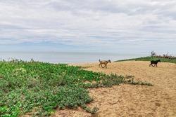 Shrub of creeping morning glory plant with a pair of feral goat on the beach sand of Pantai Senok Beach in Bachok District of Kelantan, Malaysia.
