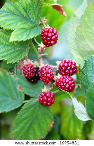 shrub of raspberry bushes