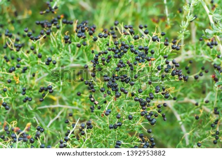 Shrub plant with black Goji berries. Wild berries in nature. Branches of the plant with small leaves. #1392953882