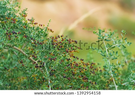 Shrub plant with black Goji berries. Wild berries in nature. Branches of the plant with small leaves. #1392954158