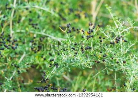 Shrub plant with black Goji berries. Wild berries in nature. Branches of the plant with small leaves. #1392954161