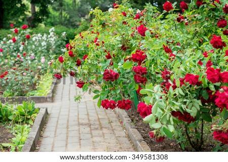 Shrub red roses #349581308