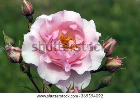 shrub rose, Rosario  #369594092