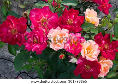 Shrub rose with flowers of different colors. It grows on the black earth cracked earth. Selective focus