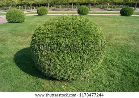 Shrub thuja orientalis in the form of a ball topiary garden. Rounded evergreen decorative tree #1173477244