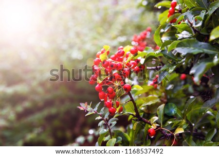 Shrub with lots of red berries on branches. #1168537492