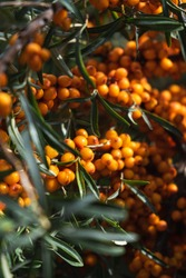 Shrub with ripe buckthorn berries in the garden close-up. No people