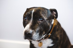 Shy adopted brindle Staffordshire bull terrier dog with white face markings looking sad
