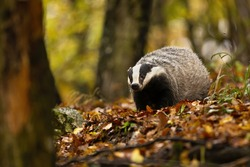 Shy european badger, meles meles, with stripe on its small head feeling threatened. Black and white forest animal with cute face. Adult badger out of its hole and alone in the wilderness.