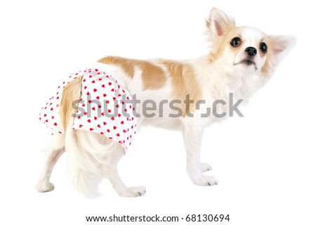 Shy pretty chihuahua dog dressed in silk panties with red hearts isolated on white