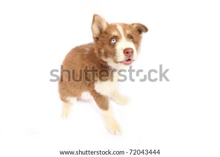 Shy Siberian Husky puppy