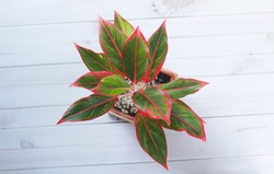Siam Aurora or Aglaonema Red Lipstick This ornamental plant has a beautiful red color on the edge of the leaf. Close-up photos from top view.