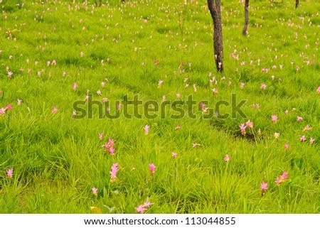 Siam tulip at Chaiyaphum Province, Thailand.