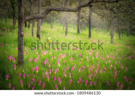 Siam tulip field (Dok Krachiew flower field) at Sai Thong National Park at Chaiyaphum in Thailand. Stock fotó ©