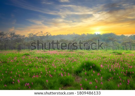 Siam tulip field (Dok Krachiew flower field) during sunrise time at Sai Thong National Park at Chaiyaphum in Thailand. Stock fotó ©