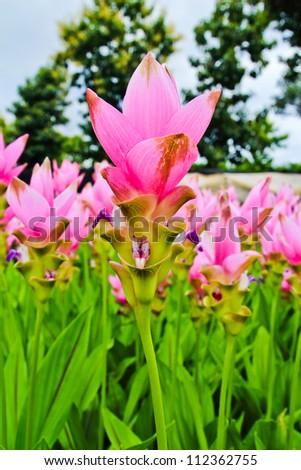 Siam tulip flowers in garden
