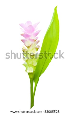 Siam tulip with leaf isolated on white