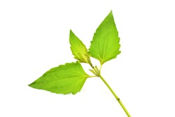 Siam weed leaf is one herb that is very easy to find and widely available. Classified as a weed with medicinal properties